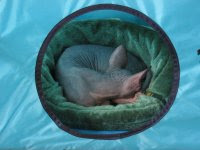 Dragonheart sleeping in his tent