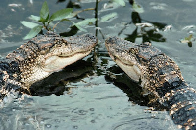 Hurricane Katrina Alligators