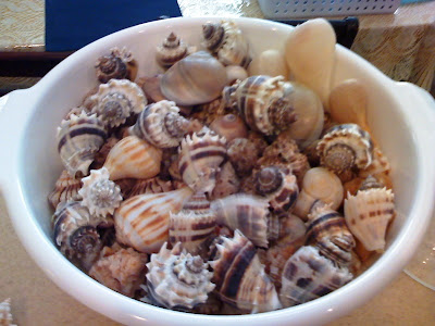 Colander full of sea shells found on Sanibel Island and Captiva Island, including king's crown, paper fig, pear whelk and moon snail.