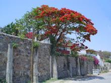 Galeana tree in bloom