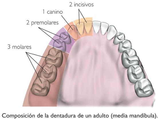 Anatomía: cantidad y tipos de dientes | Memorias de un aparato: