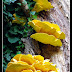 żółty pasożyt