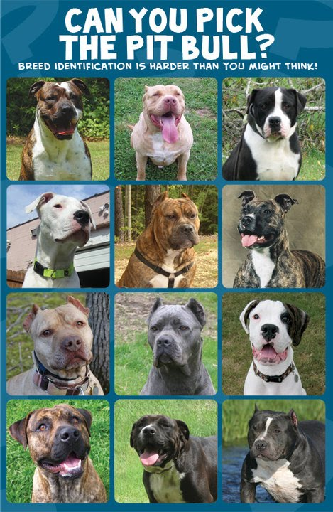 ... Terrier in addition American Bullies. on different pit bull breeds
