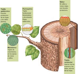 Ejemplos de tejidos celulares