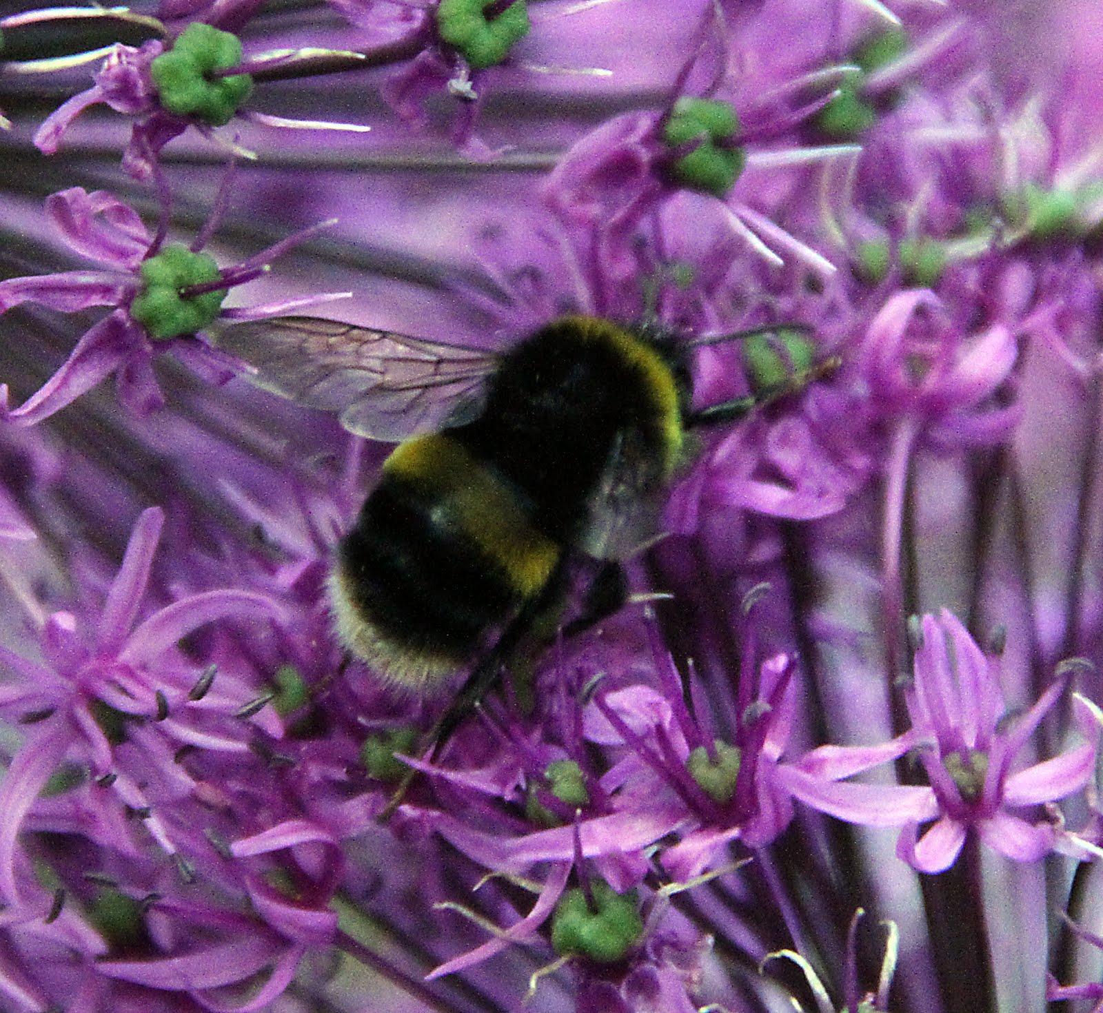 http://1.bp.blogspot.com/_xYMkl-Jw6Fc/TAKZNTsrI2I/AAAAAAAAATk/QlAK5jn6qA8/s1600/bees+alliumsIMG_0941bl.jpg