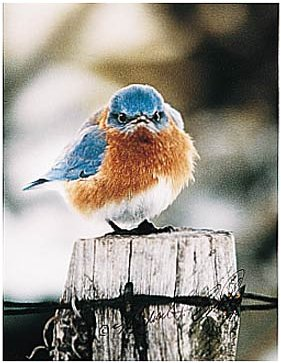 Mountain bluebird click to