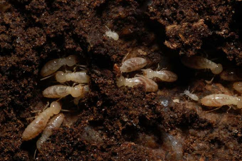 Termites ouvriers