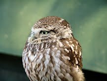 An Honest Little Owl