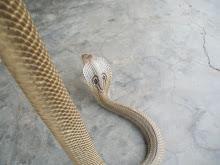 Cobra handling