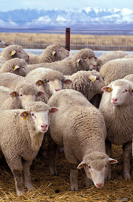sheep protestants catholics flock