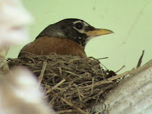 American Robin stayed in his net
