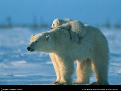 foto de osa polar u osa blanca en la nieve alzando a su osito