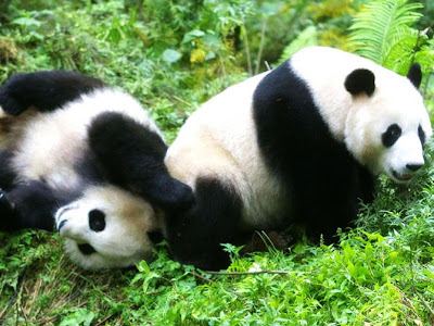 fotos de osos panda cariñosos 3