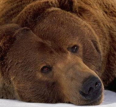 foto de oso pardo triste