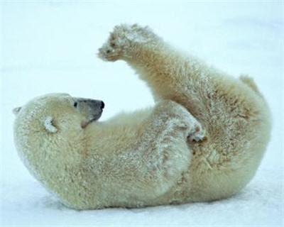 osito polar tierno