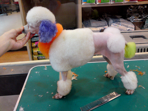 how to do a continental poodle cut