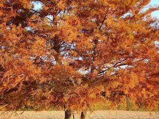 Cypress glory