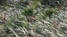 Spinifex and Grevilleas