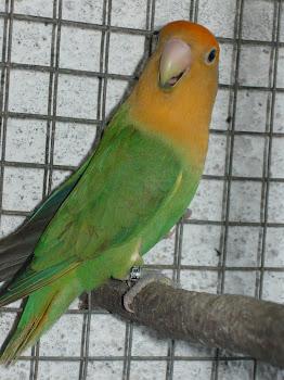 Agapornis Roseicolis Ópalino verde face laranja