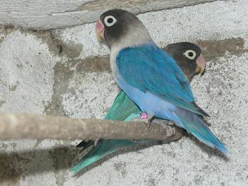 Agapornis Personatas azuis e violetas