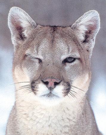 winking-cougar-print-c100544901
