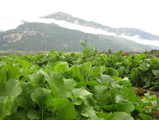 Organic Lettuce