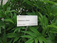 The Sambuca Plant