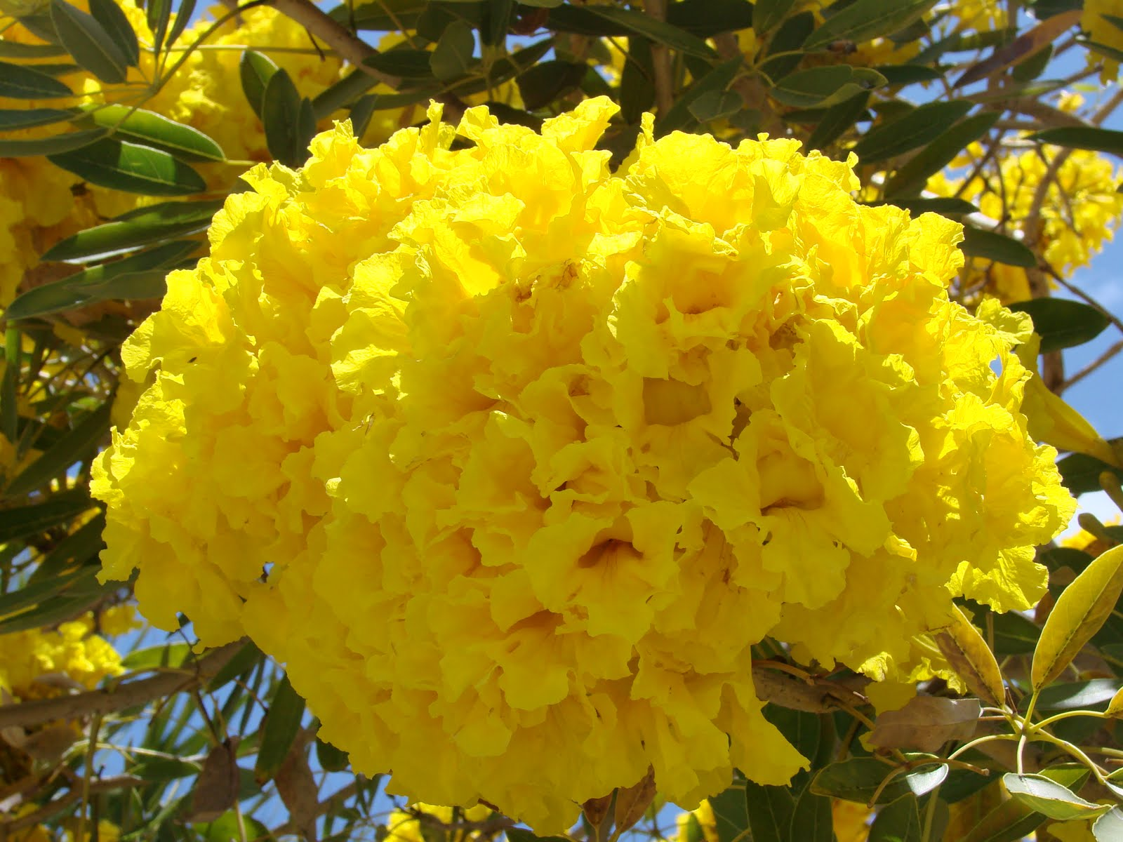 Angelil adventures what 39 s that neon yellow tree - Trees that bloom yellow flowers ...