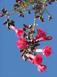 Flor de Cantu