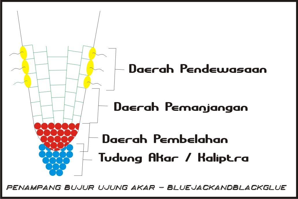 Bluejackandblackglue biologi jaringan tumbuhan jumat 13 agustus 2010 berdasarkan asalnya jaringan meristem dibagi 3 yaitu 1 promeristem telah ada sejak embrio 2 meristem primer terdapat diujung batang dan akar ccuart Choice Image