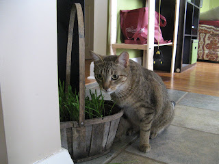 Fergie snacking on his new basket of cat grass