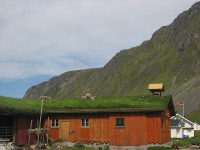 Öko Rasenmäher: Schafe auf den oft begrünten Dächern auf den Lofoten