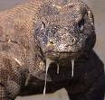 Komodo Dragon - C Myles Young Blog
