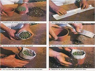 Semillasmagicas transplantar un cactus - Como transplantar cactus ...