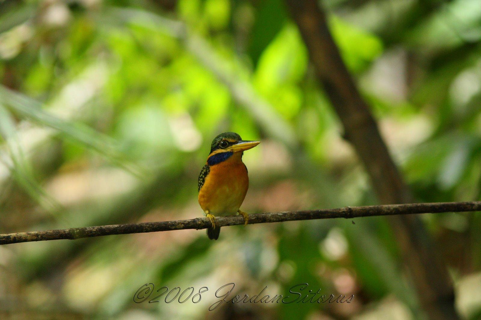 [Rufous-collared+Kingfisher+(Halcyon+concreta)-female.jpg]