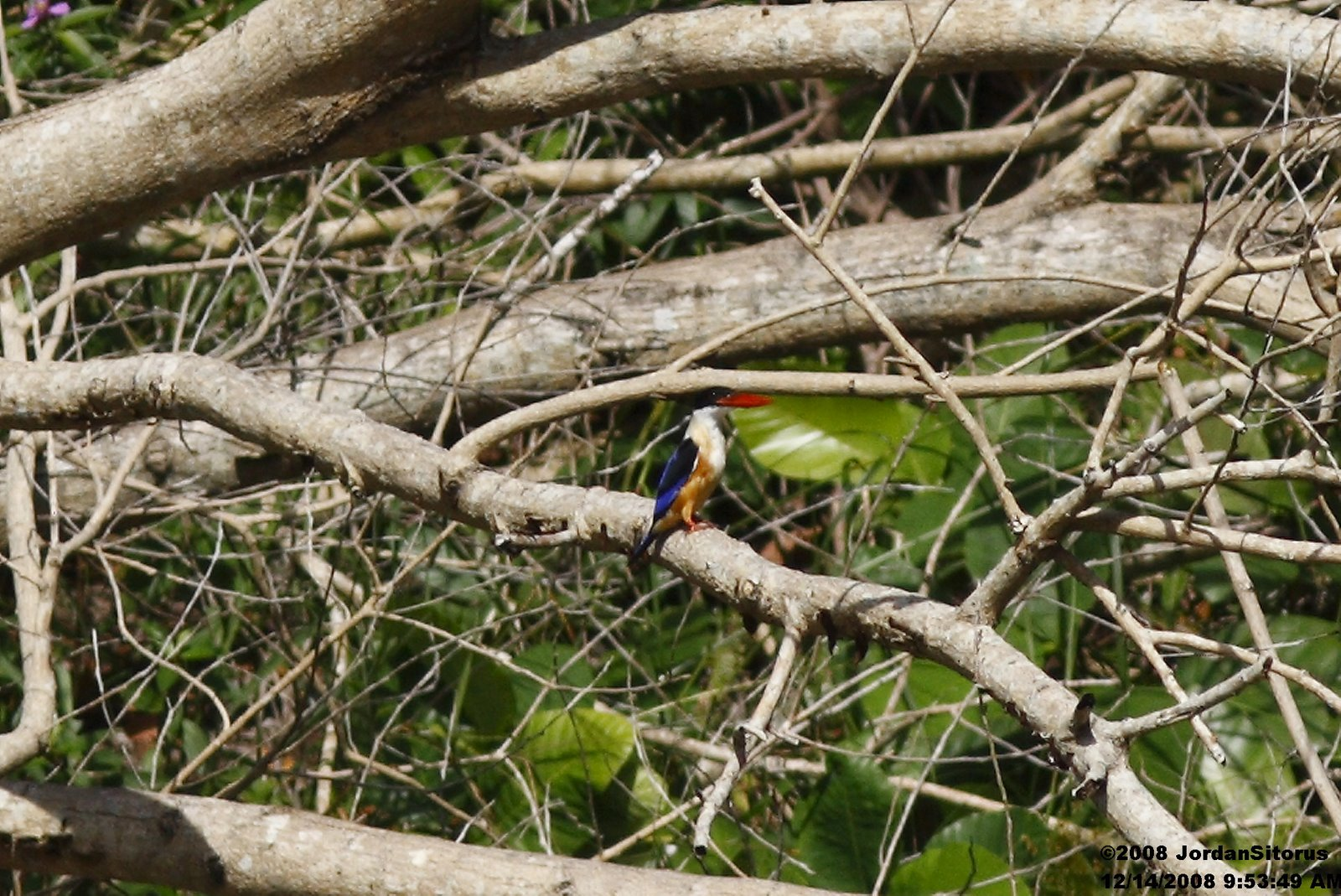 [IMG_4823+2008_12_14+Black-capped+Kingfisher+(Halcyon+pileata).jpg]