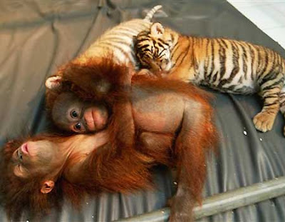 gorgeous cute orangutan photo of tiger cubs and baby orangutans