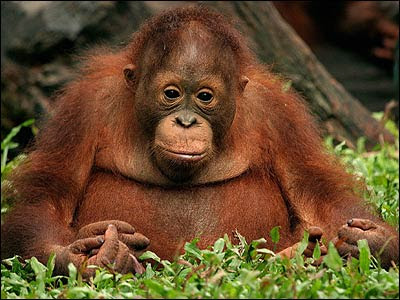 cute but sad photo of young and chubby orangutan