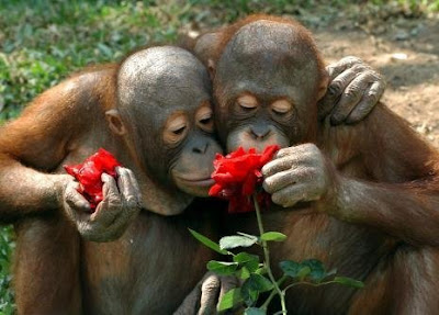 really beautiful cute photo of two orangutans cuddling and smelling flowers