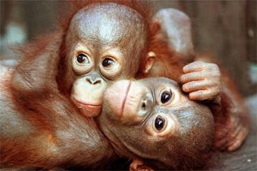 Cuddling Orangutan Babies