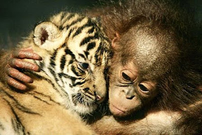 fantastic photo of baby orangutan and tiger cub hugging and cuddling