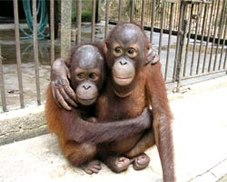 young orangutans looking after each other very cute photo