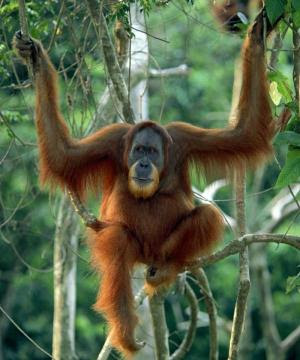 orangutan pics older hanging in tree in jungle