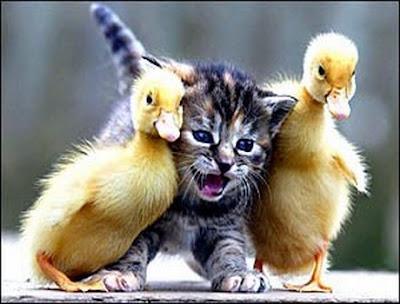 [Image: funny-animals-kitten-ducks.jpg]