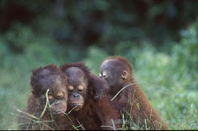 photo of three cute orangutans in the grass