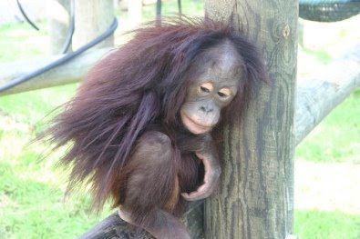 photo of young and hairy cute orangutan