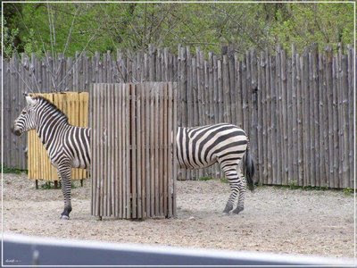 funny zebra photos really long body pic