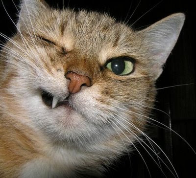 funny evil mean looking cat with closed eye and one big tooth but probably a sweet cat photo