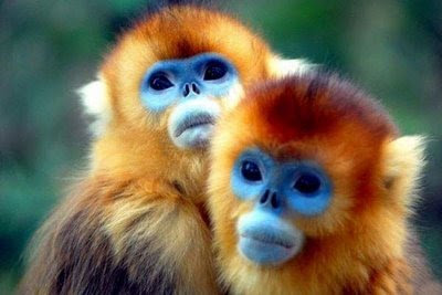funny photos animals blue face monkeys