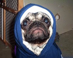 funny rocky looking pug dog photo